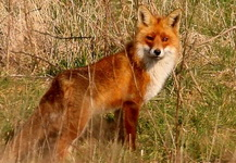 Лисица обыкновенная, лисица рыжая, лиса красная, Дары Белорусской природы